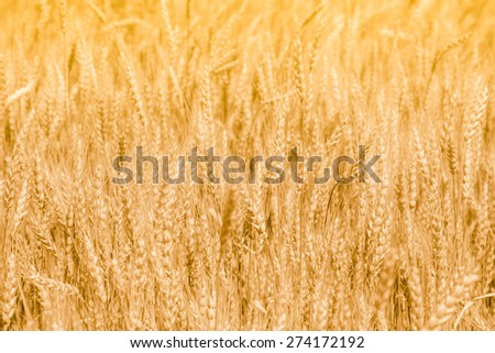 Wheat field with fully ripe spikelets in the summer - stock photo
