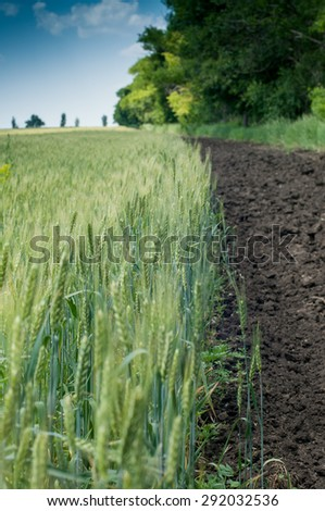 wheat field with green cones and the opened earth round a field - stock photo