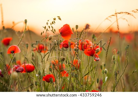Wheat field with poppies and sundown landscape. Beautiful nature summer vista with wild flowers - stock photo
