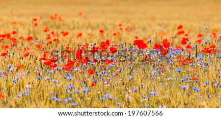 Wheat field with poppy field - stock photo