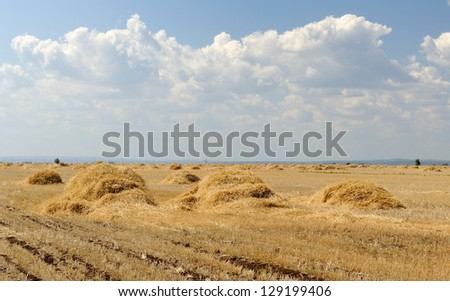 Wheat field with ricks. Landscape with blue sky - stock photo