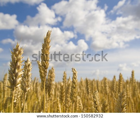 Wheat field with sky and clouds from the frog perspective - stock photo