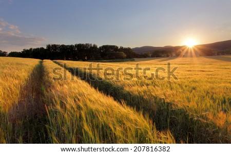 Wheat field with sun - stock photo