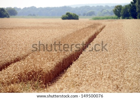 Wheat field with tractor tracks / agriculture - stock photo