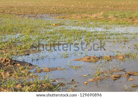 wheat fields covered with puddles - stock photo