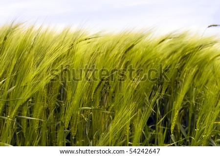 Wheat fields, ears sway in the wind - stock photo