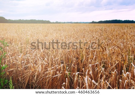 Wheat fields in the middle of the day