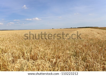 wheat fields under the sun in the summer before harvest