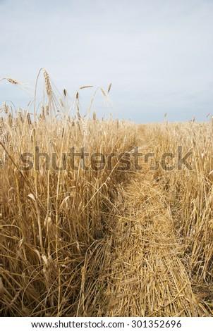 Wheat golden field    - stock photo