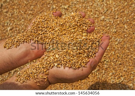 Wheat grains in hands at mill storage - stock photo