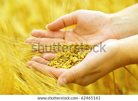 Wheat grains in the hands - stock photo