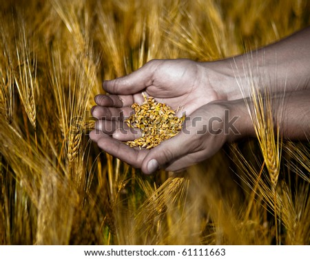 Wheat grains in the hands of the farmer - stock photo