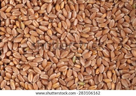Wheat grains macro - stock photo