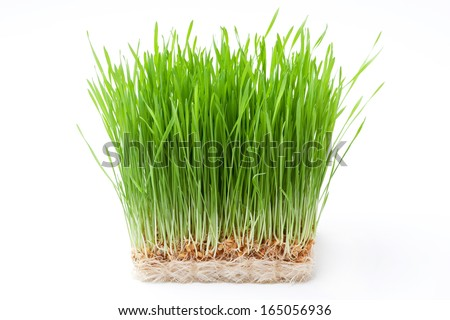 wheat grass - stock photo