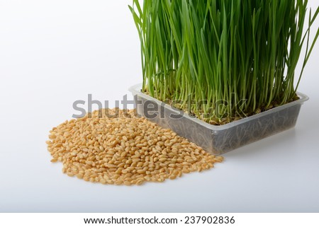 wheat grass and wheat grains on white background - stock photo