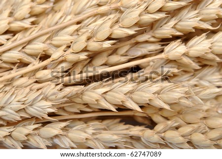 wheat grass background - stock photo