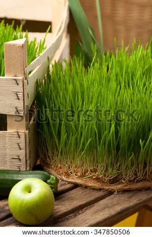 Wheat grass for juicing and healthy life. How to grow the best wheat grass - Urban cultivation  and gardening. - stock photo