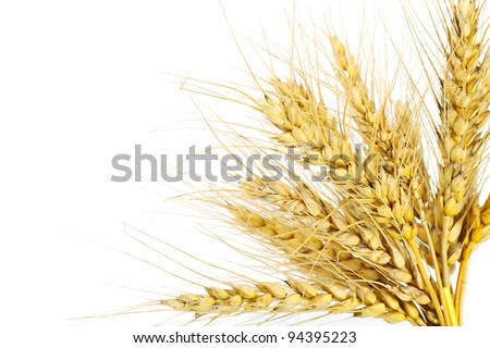 Wheat grass isolated on pure white background - stock photo