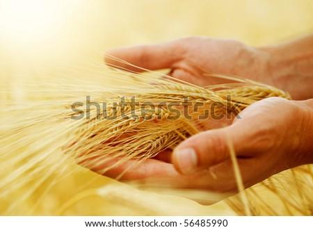 Wheat.Harvest concept - stock photo