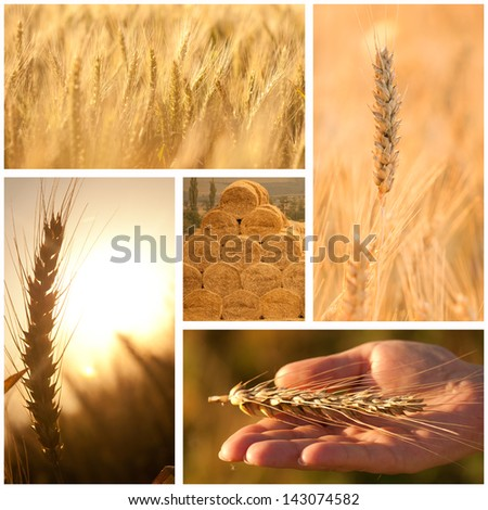 Wheat.Harvest concepts.Cereal collage. - stock photo