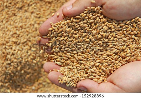 Wheat in a hand - good harvest - stock photo