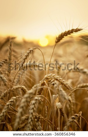 Wheat in early sunlight ready for harvest growing in a farm field - stock photo