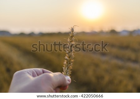 Wheat in man hand on the field in sunset time - stock photo