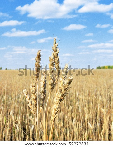 wheat in sky background - stock photo