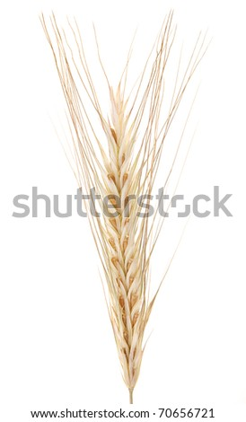 Wheat isolated on a white background. - stock photo