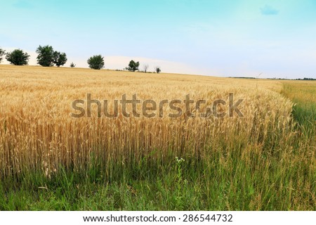 wheat landscape - stock photo