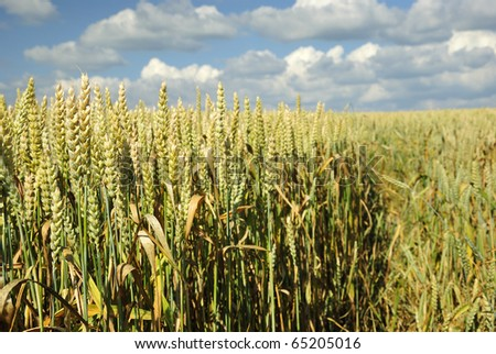 Wheat meadow field closeup - stock photo