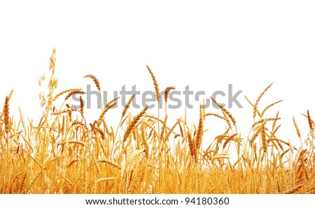 Wheat on a white background. Wheat crop. - stock photo