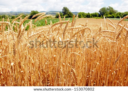 wheat plant on field  - stock photo