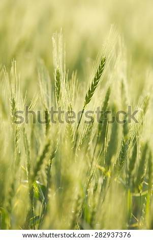 Wheat plants on an agricultural field - stock photo