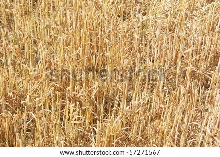 wheat residues - stock photo