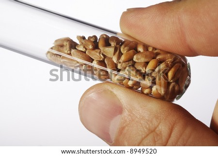 wheat seed in glass tubes - stock photo