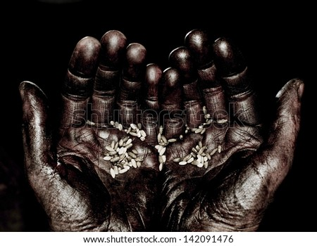 Wheat seeds on  palms landowner. - stock photo