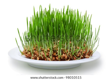Wheat seeds with green sprouts over white background, as symbol of growth
