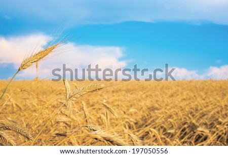 wheat spike on a gold blurred background with blue sky  - stock photo