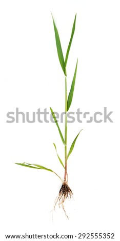 wheat sprout isolated on white - stock photo