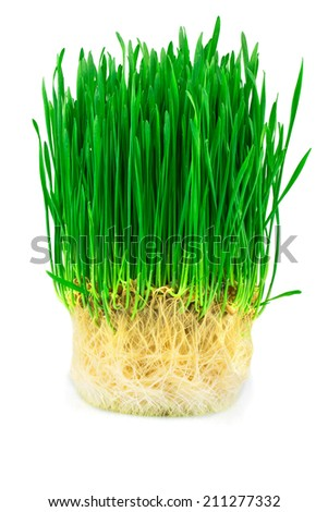 Wheat sprouts isolated on white background - stock photo
