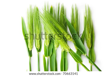 Wheat strands isolated on white. - stock photo