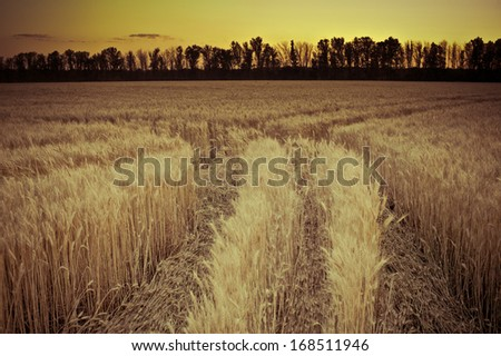 wheat trail - stock photo