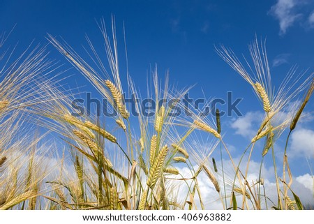 Wheat with the sky background in summer