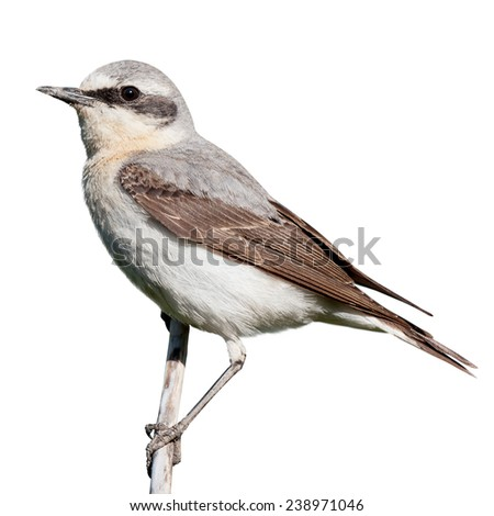 Wheatear (Oenanthe oenanthe) in front of white background, isolated. male - stock photo