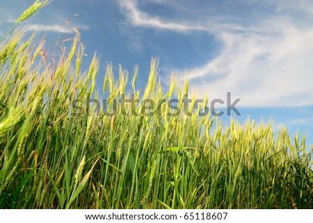 Wheaten ears under the cloudy sky - stock photo