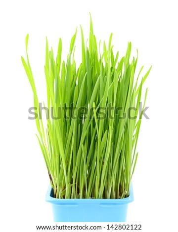 Wheatgrass in flowerpot - stock photo