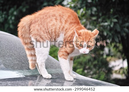 When cat meets dog, frightened cat standing on a car staring at a dog not in camera, ready to escape. - stock photo