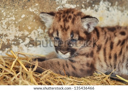 When cougars are born, they have spots, but they lose them as they grow, and by the age of 2 1/2 years, they will completely be gone - stock photo