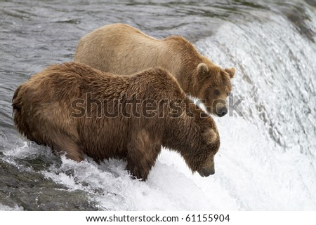 "Where Are Those Salmon - Two grizzly bears wait patiently for the sockeye salmon to jump into their ""catch zone"" at Katmai National Park, Alaska. - stock photo"